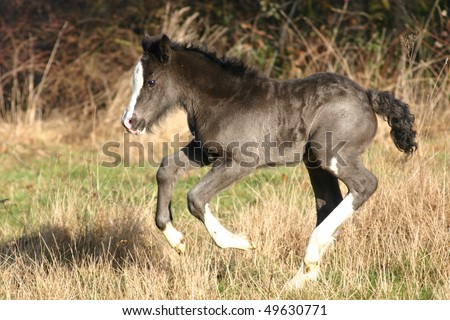 young filly foal in the field, black Irish Cob foal - stock photo