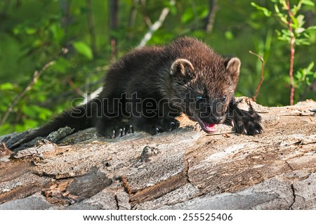 Young Fisher (Martes pennanti) Climbs Over Log - captive animal - stock photo