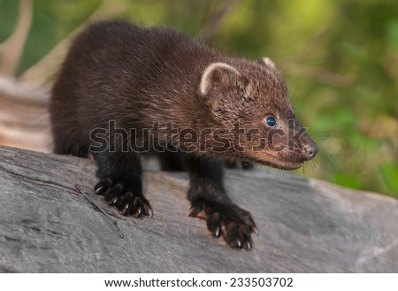Young Fisher (Martes pennanti) Crouches on Log - captive animal - stock photo