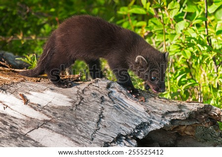 Young Fisher (Martes pennanti) Investigates Log - captive animal - stock photo