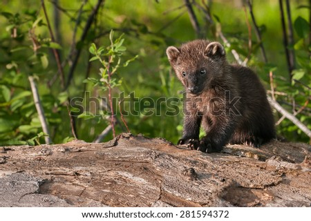 Young Fisher (Martes pennanti) Sits on Log Copy Space Left - captive animal - stock photo