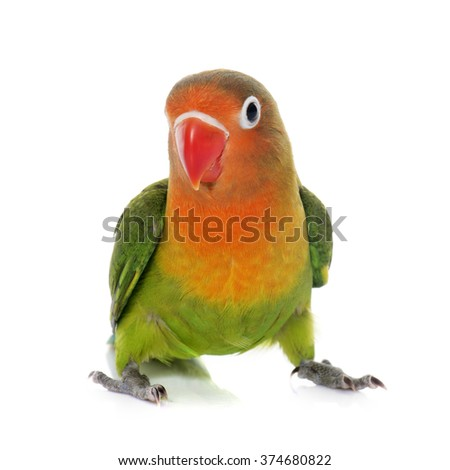 young fisheri lovebird in front of white background