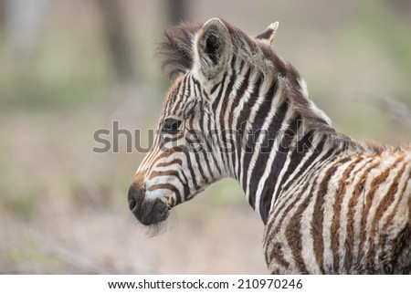 Young fluffy baby zebra foal portrait standing alone in nature - stock photo