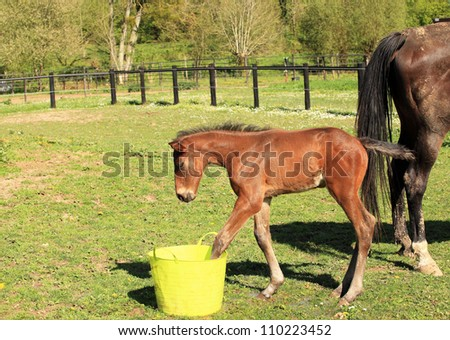 young foal who playing with a bucket of water