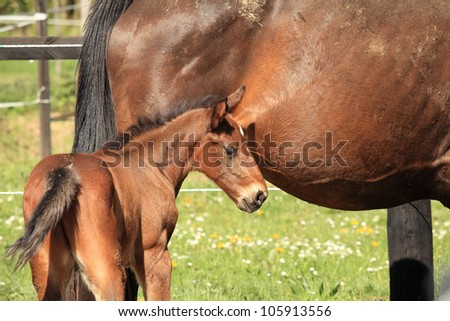 young foal with his mother in a field in spring - stock photo