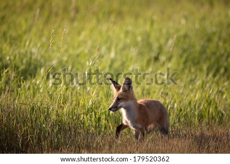 Young fox beside a Saskatchewan country road - stock photo