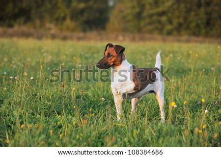 young Fox Terrier in the meadow with high paw - stock photo