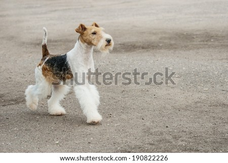 Young Fox-Terrier runs on paved path. - stock photo