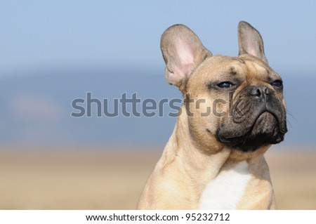 young French Bulldog puppie 11 months bodytalking frust and refusal or proudly, insecurity or free interpretation - stock photo