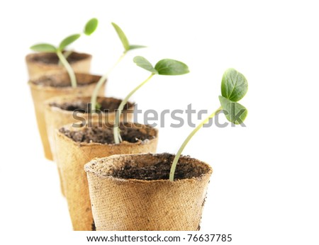 Young fresh seedling stands in peat pots on a white background - stock photo