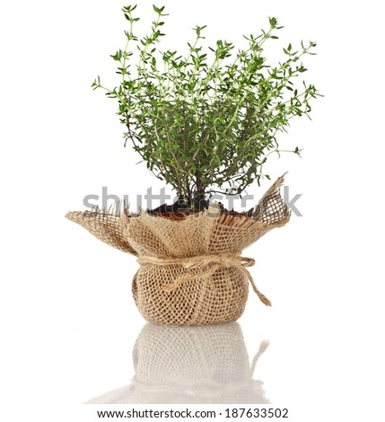 Young fresh vegetable thyme sprout seedling in brown terracotta pot wrapping bag cloth isolated on white background - stock photo