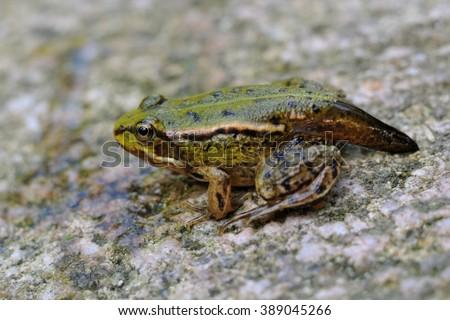 Young frog metamorphosis - stock photo