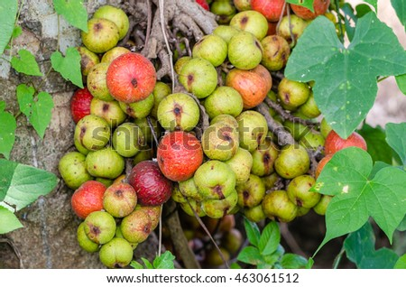 Young fruit Ficus carica