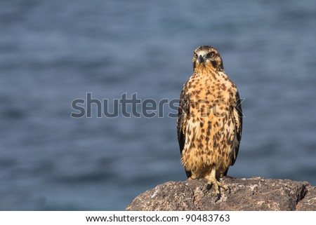Young Galapagos Hawk