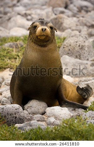 Young Galapagos sea lion (Zalophus wollebaeki, South Plaza Island, Galapagos, Ecuador) - stock photo