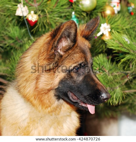 Young German Shepherd in front of Christmas tree - stock photo