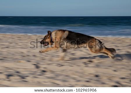 Young German Shepherd running on the beach - stock photo