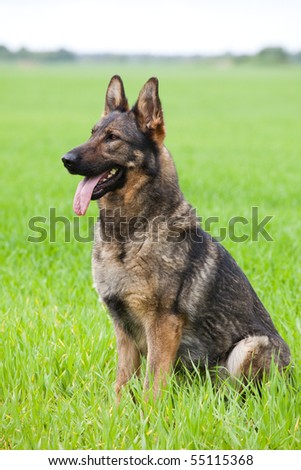 young German Shepherd sitting on a green grass of a summer field - stock photo