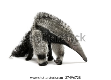 Young Giant Anteater, Myrmecophaga tridactyla, 3 months old, walking in front of white background, studio shot