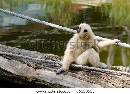 Young Gibbon Monkey in Vienna Zoo - stock photo
