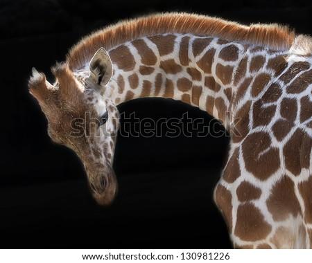 Young Giraffe - stock photo