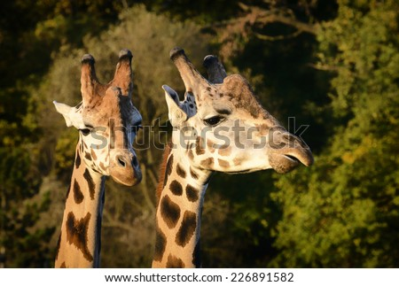 Young giraffe in Pilsen zoo, europe, Czech republic - stock photo