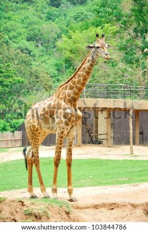 young giraffe in the open zoo - stock photo
