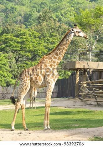 young giraffe in zoo - stock photo
