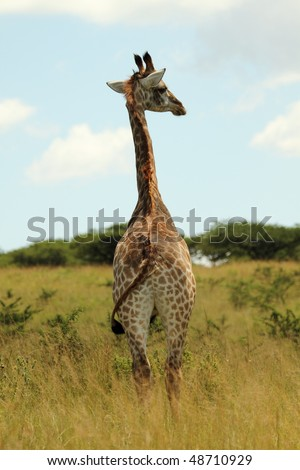 Young Giraffe looking back, centered - stock photo