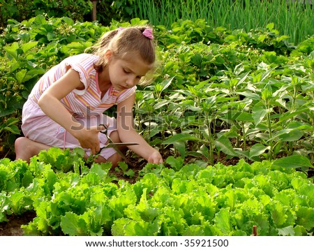 young girl cropping green lettuce from the vegetable bed - stock photo