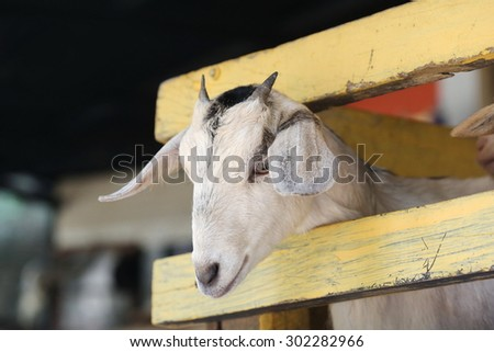 young goat ,Cute baby goat looking over a fence in a farmyard. farm animal - stock photo