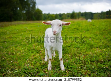 Young goat grazing in the meadow