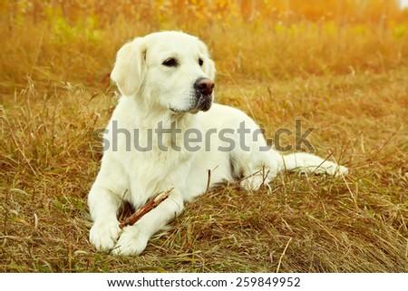 Young golden retriever for a walk in nature. Dog breed labrador outdoors - stock photo
