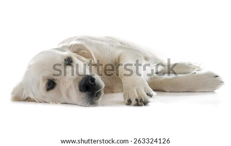 young golden retriever in front of white background - stock photo