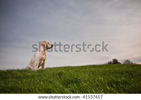 Young Golden Retriever is sitting on a green hill - stock photo