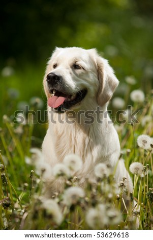 Young Golden Retriever posing between dandelions - stock photo