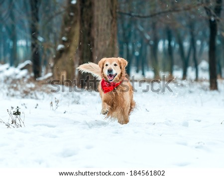 Young golden retriever run at the snow in winter park - stock photo