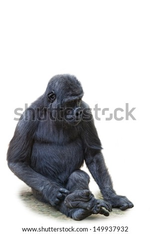 Young gorilla, it is isolated, a white background - stock photo