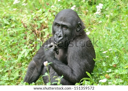 Young gorilla sitting in grassland eating plants - stock photo