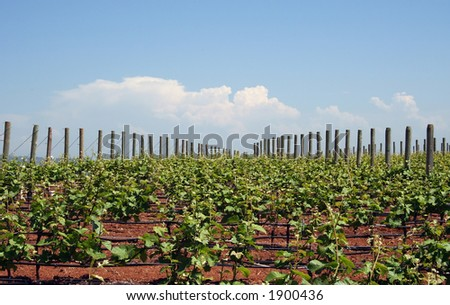 Young grape vines in Spring reaching for the sky - stock photo