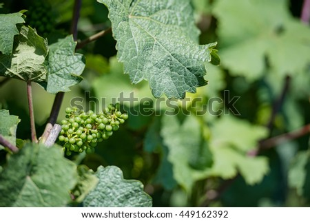 young grape wine in the vineyard with leafs in the background - stock photo