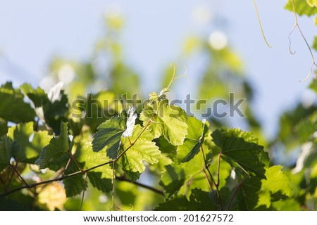 young grapes on nature - stock photo