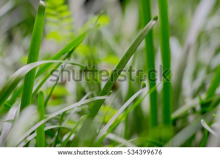 Young grass in the spring in a blurred shot at a tropical garden full of greenery that was transplanted from a nearby jungle.  This fresh blade of grass symbolizes the spirit.
