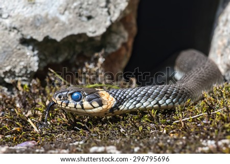 Young grass snake that just have shed skin and thats why the eyes have a blue tint. Sweden - stock photo