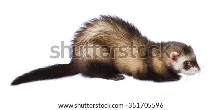 Young gray ferret isolated on white background - stock photo