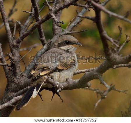 Young gray shrike among dry branches of bush - stock photo