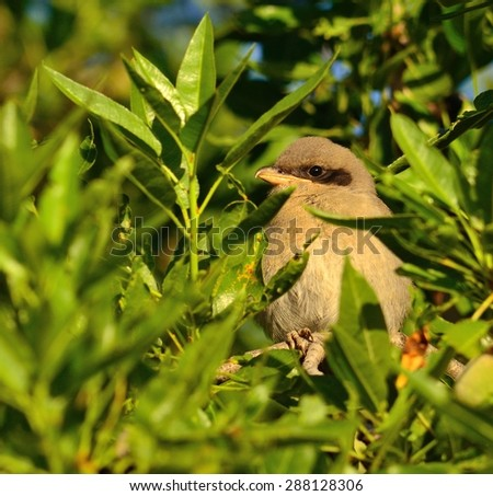 Young gray shrike hidden among small green branches of almond tree - stock photo