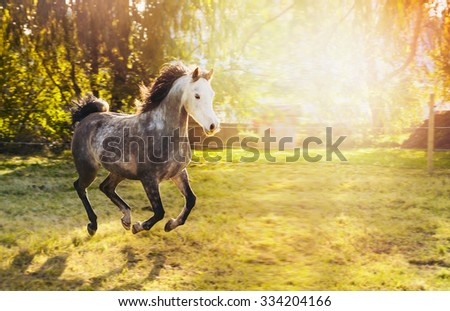 Young gray stallion with white head and Black mane running on sunny pasture with trees and sunshine - stock photo