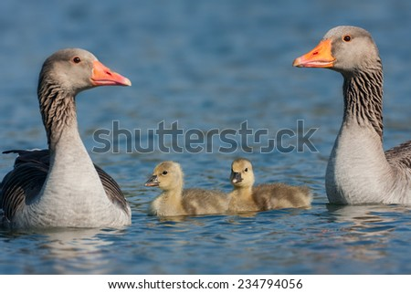 young graylag goose - stock photo