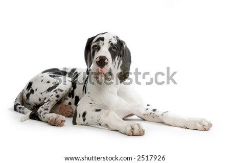 Young Great Dane HARLEQUIN lying in front of white background - stock photo
